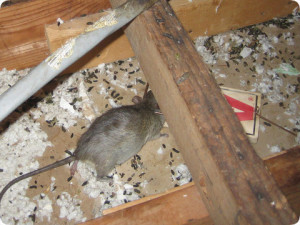 glendale rodent control ca